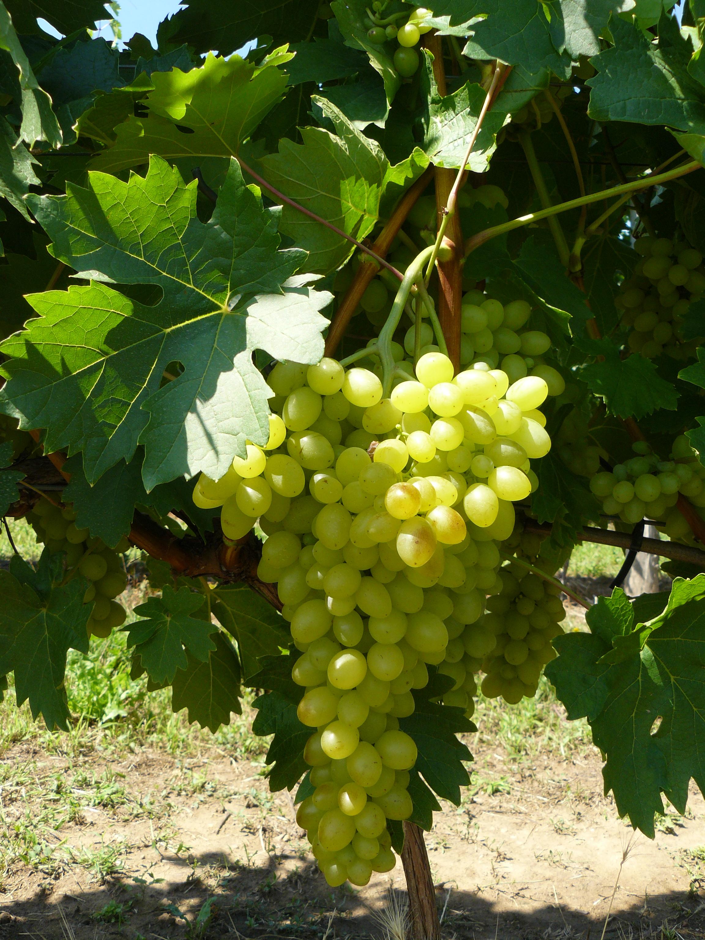 szőlő opciókkal)