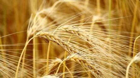 kereskedelem gabona elfogadás