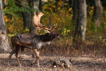 jávorszarvas vadászat kereskedelme)