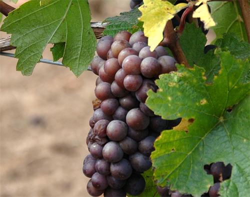 szőlő befektetéssel és kereskedelemmel